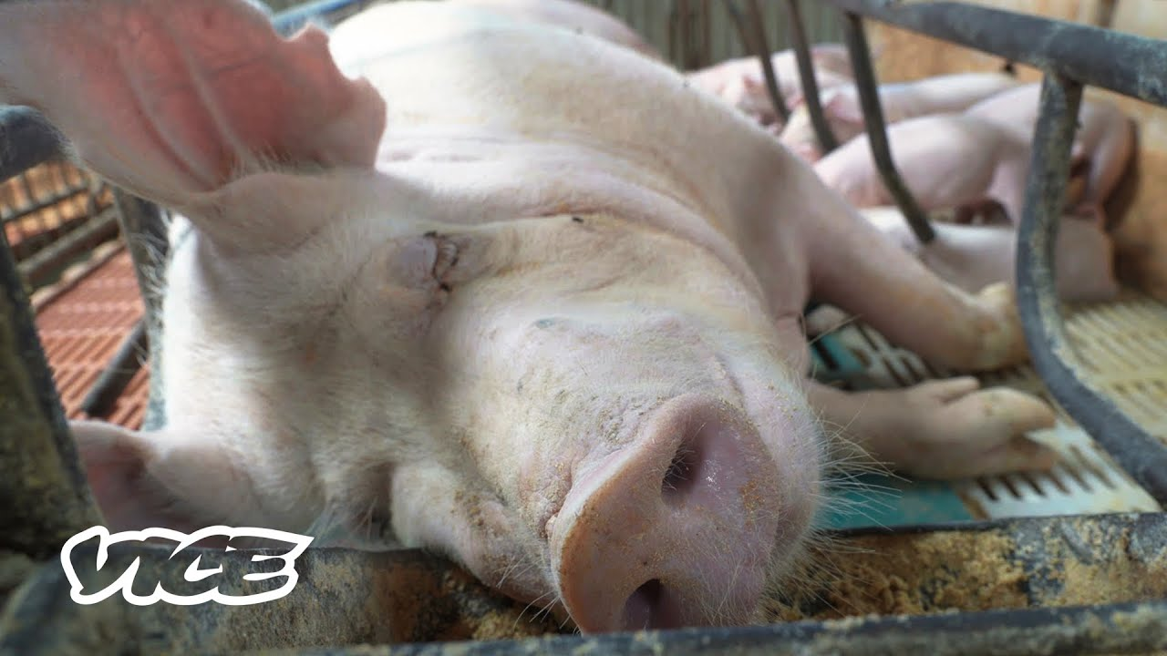 China Built a Pandemic Proof Hotel for Pigs | What In The World