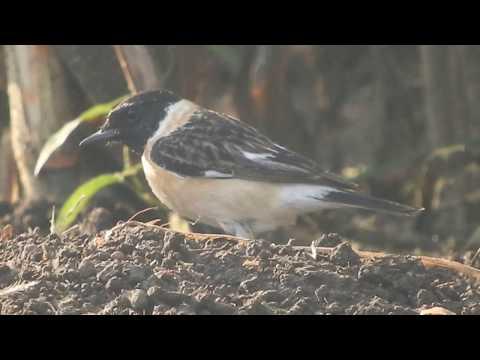 Indian birds nature Siberian stone-chat bird | इंडियन रूरल  बर्ड्स |  साइबेरियन  स्टोनचाट