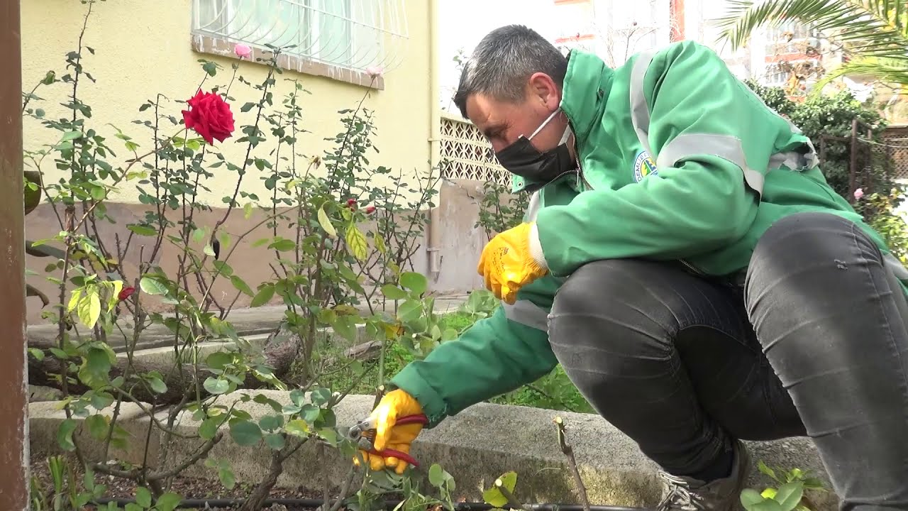 Erdemli'de Güller Açıyor