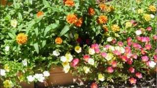 今年の夏の花壇は、寄せ植えをテーマに花を植えました。 とっても綺麗に...