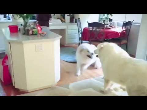 When 400lb dogs play, stay out of the way! Great Pyrenees dogs playing at home