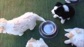 Puppy  Thunder Storm Training - 6 Weeks Old