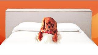 Cute Cavalier King Charles Spaniel Goes To Sleep