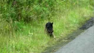 Border Terriers On The Hunt