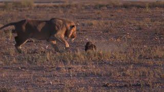 Fearless honey badger vs a Male lion