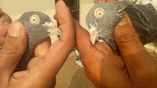 Naushad bhai saharanpuri pigeons by kamal arora