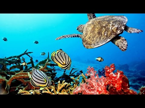 Beautiful  Nature Coral Reef life - Sea Turtle, Shark, Fishes, crustaceans - and Relax Music