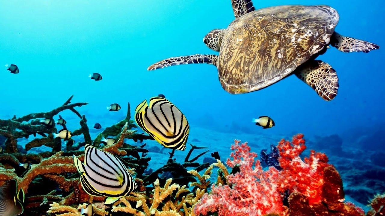Beautiful  Nature Coral Reef life - Sea Turtle, Shark,  -  Sleep and Relax Music Screensaver
