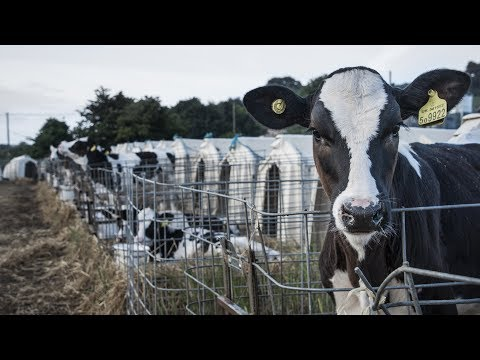 iAnimal  The dairy industry in 360 degrees, narrated by Evanna Lynch