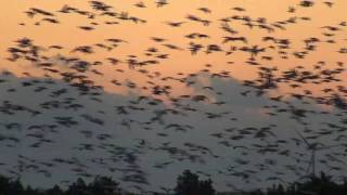 An Amazing Uprising of Snow Geese
