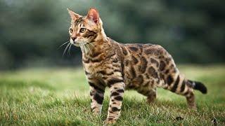 Бенгальская Кошка, Молодой Бенгал, Породы кошек
