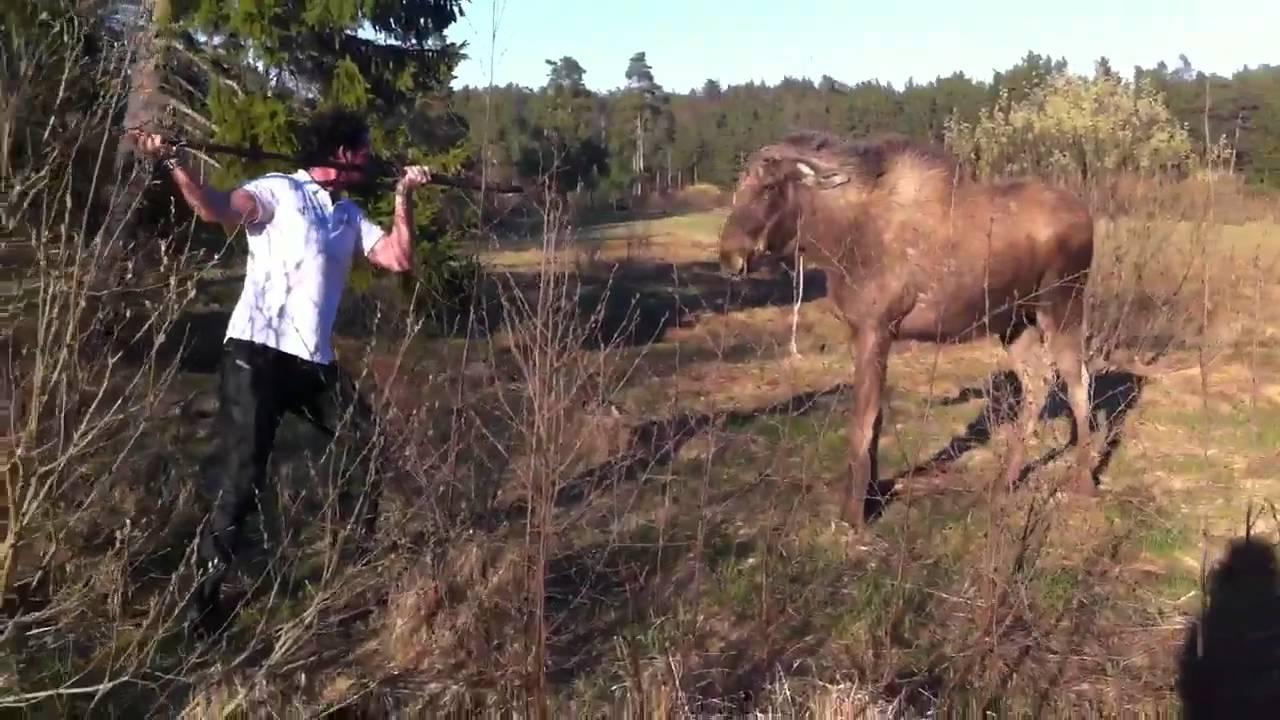Man Vs Moose In Sweden The Original Youtube
