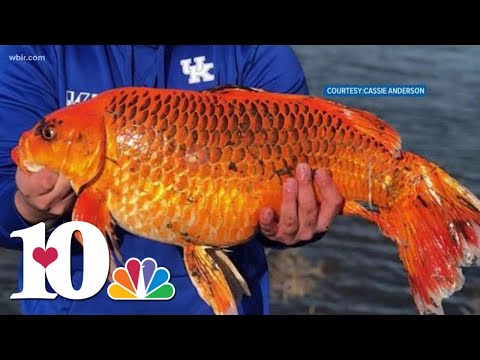 Buster - 20 Pound Giant Goldfish Caught with A Biscuit