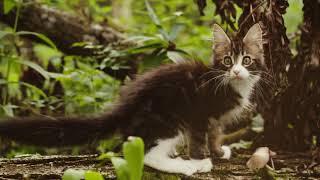 Видео котенка породы мейн кун,  черный мраморный с белым (n 09 22), Root Grey Claw`s в 2 месяца.