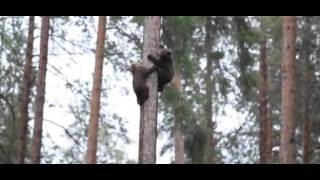 Tiny bear cubs playfully race up & down huge tree in Finland