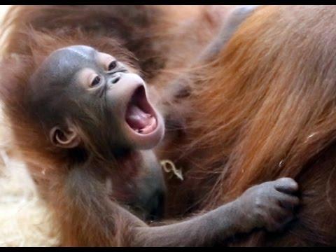 Newborn Orangutan playing with Mother