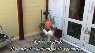 Shih Tzu Tobi Ends Balloon In 10 Seconds