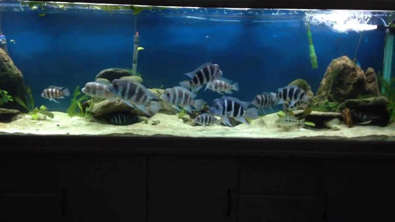 300g African Cichlid Natural Aquascape - YouTube