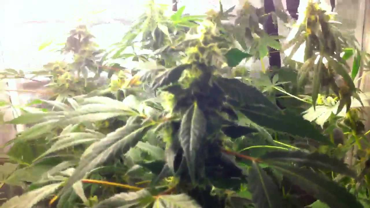 Cfl grow tent almost harvest & Cfl grow tent almost harvest - YouTube