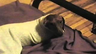 Dachshund Stuck In Housecoat