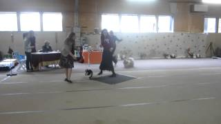 Best Male Puppy At Finnish Shih Tzu Club Show 2012