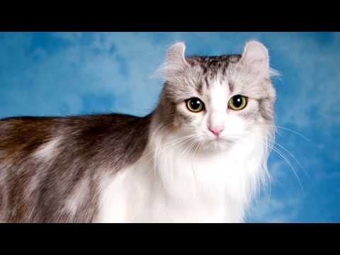 Breeds of cats.  American Curl. History, Price, Characteristics, Nursing, Nutrition and much more