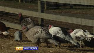 A Visit to an Old-Fashioned Turkey Farm