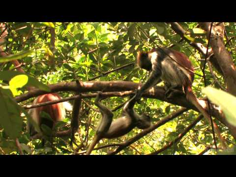 """Red Colobus Monkeys"" by Pim Niesten"