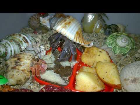 Makanan Kelomang Darat Kelomang Darat Land Hermit Crab