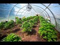 Medical pot licenses used as cover for large industrial grow op