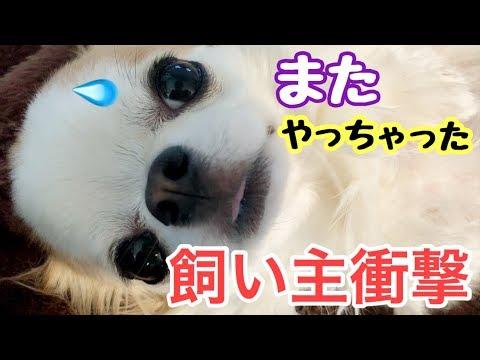 「衝撃」 パパ愕然!再び子犬チワワのイタズラ発覚!【かわいい犬】【chihuahua】【cute dog】【ペット動画】
