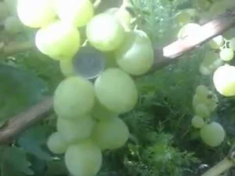 Виноград Кеша-1(Талисман)