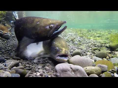 Chinook Salmon Spawning  May 2018 Canterbury - New Zealand