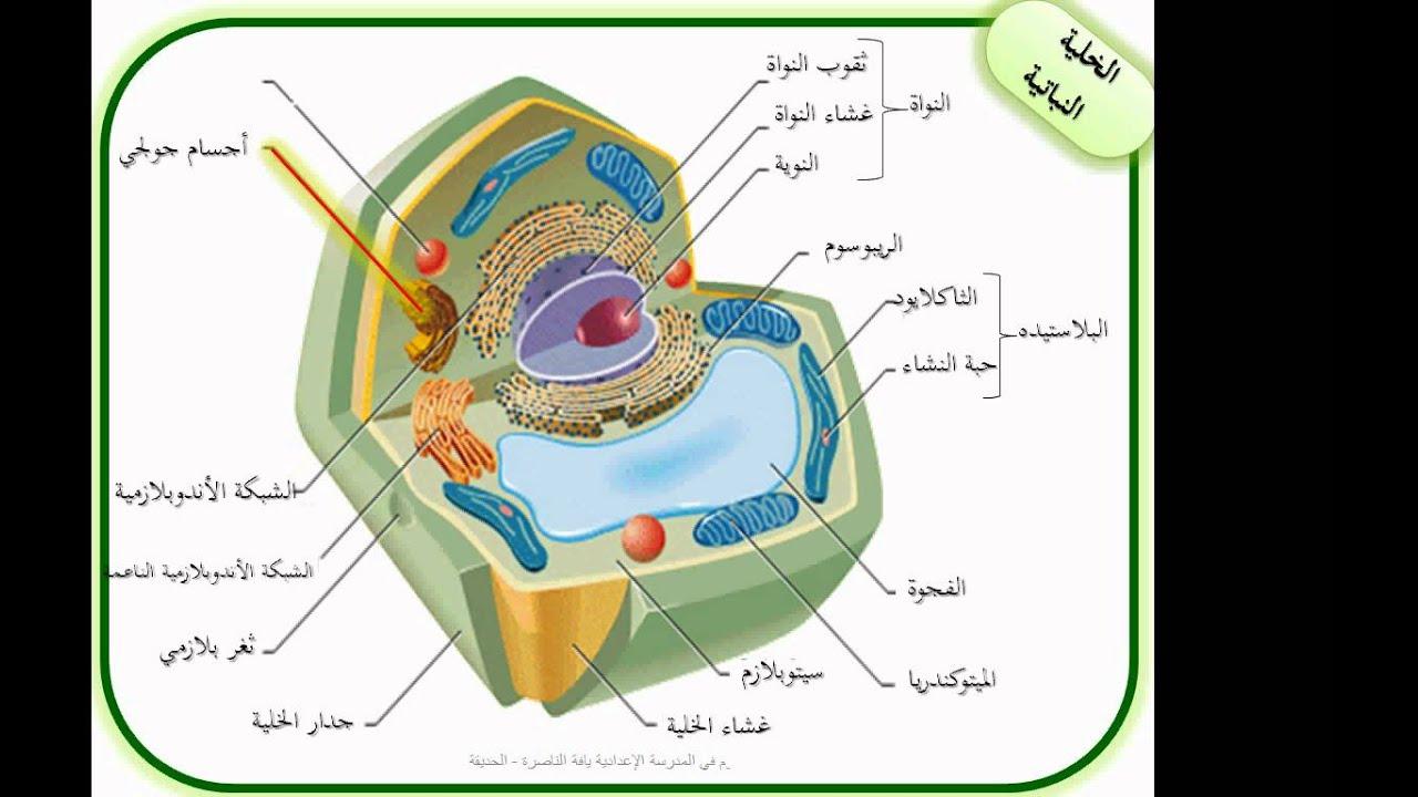 مقارنة بين الخلية النباتية والحيوانية