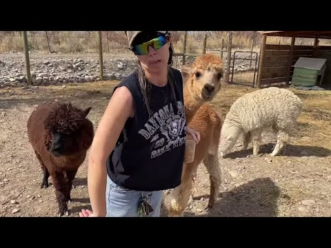 my neighbor billy tries to bring home an ALPACA! (and an entire farm)