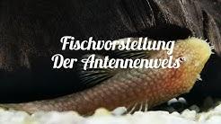 Fischvorstellung - Der Antennenwels