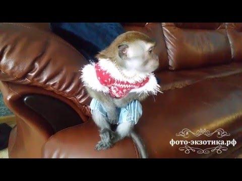 Домашняя обезьянка в квартире