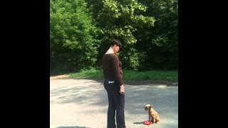 Дрессировка щенка гриффона Ляля — 4 месяца