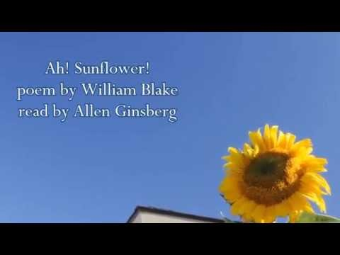 "william blake ah sunflower Of the unambiguous cheerfulness most of us associate with sunflowers and  serve it in a glass it's named for william blake's decidedly ambiguous poem, ""ah ."