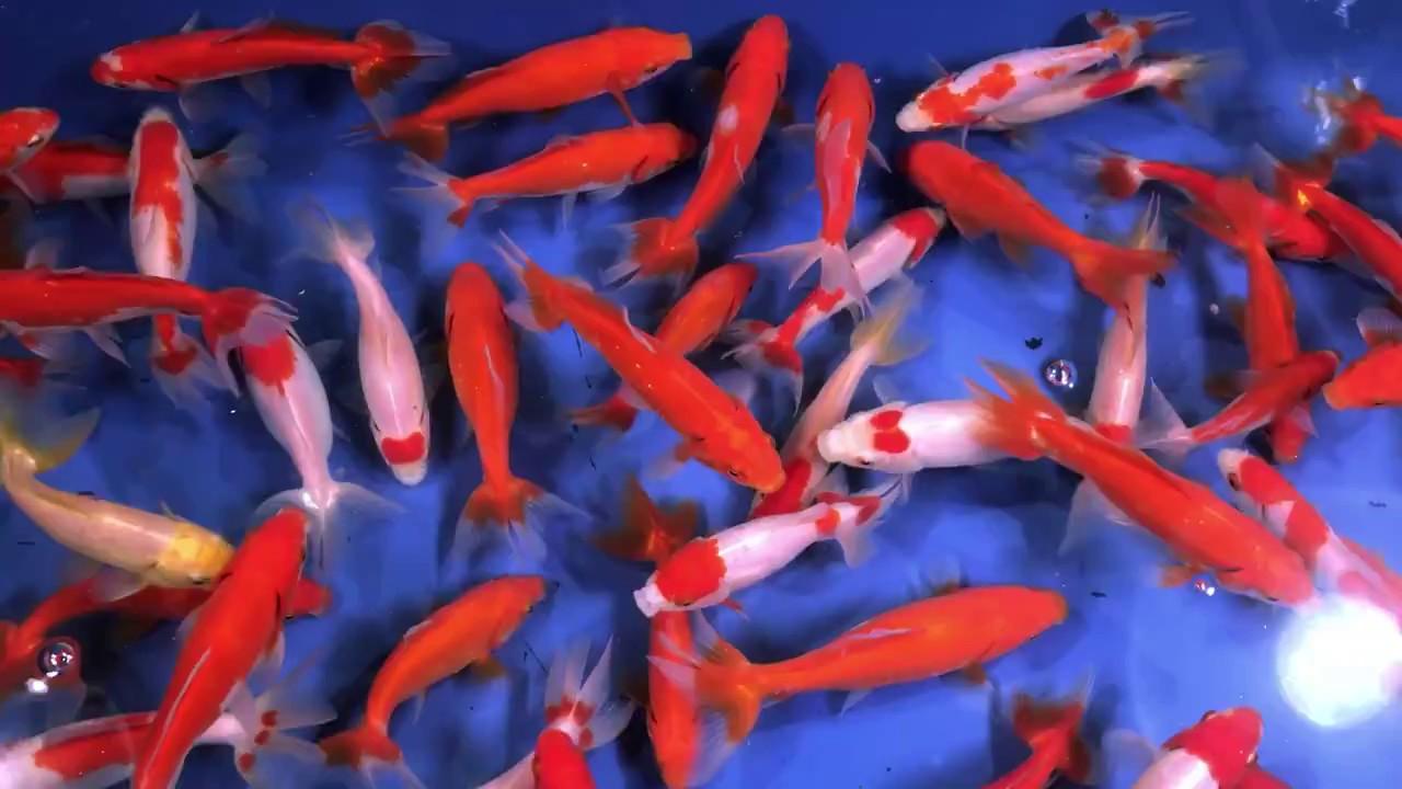 Assorted Wakin Goldfish from Blue Ridge Koi