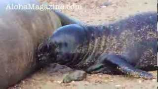 Hawaiian monk seal pup asking for milk - Aloha Magazine