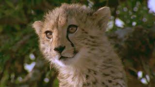Cute Cheetah cub versus Warthog - Natural World Cheetahs Fast Track To Freedom - BBC Earth