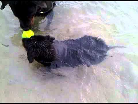 My 2.5 months Rottweiler puppy first swim
