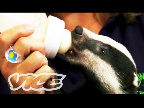 Cute Baby Badgers!