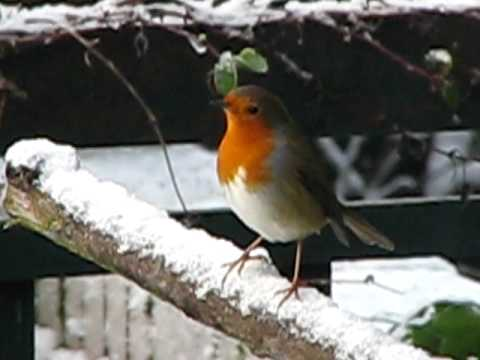 christmas red robin in my winter garden birds uk - Is Red Robin Open On Christmas