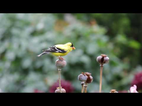 Goldfinch at Atlanta Botanical Garden May 28th 2017
