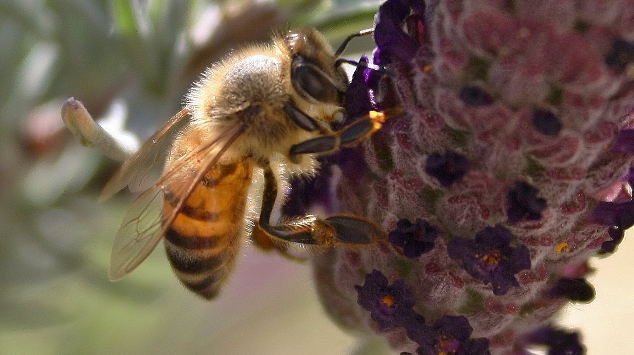 Honey Bees Close Up Collecting Nectar From Spanish