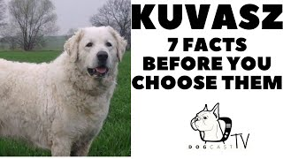 Before you buy a dog  KUVASZ  7 facts to consider!  DogcastTV!