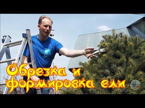 Александр Петров. Обрезка и формировка ели