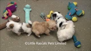 Little Rascals Uk Breeders New Litter Of Morkie Puppies